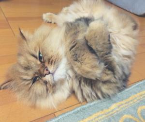 サラダホーム工務部 後藤真友さんの愛猫ココちゃん
