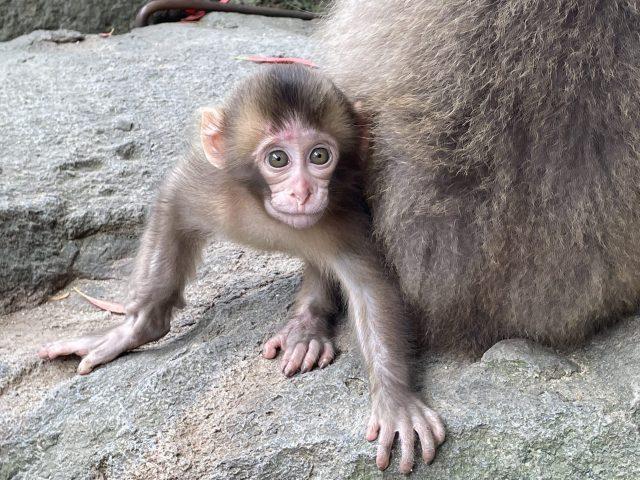 高崎山の子猿